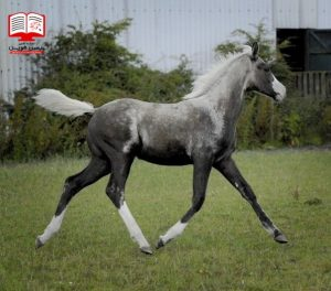 چگونه پوست اسب را به رنگ ابرشی برسانیم؟