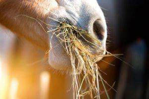 علوفه و یونجه کم غبار و تمیز مناسب برای اسب های تنگ نفس