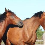 فحلی اسب و دستکاری آن